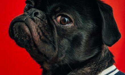 Min hund har udtalt hanhundeadfærd